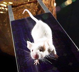 lab-mice